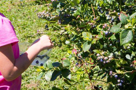Une femme en train de cueillir des fruit myrtille dans une ferme de Tasmanie