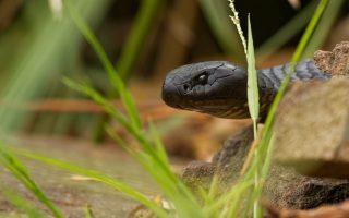 Le brown snake, un serpent dangereux de Tasmanie