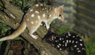 Animaux de tasmanie